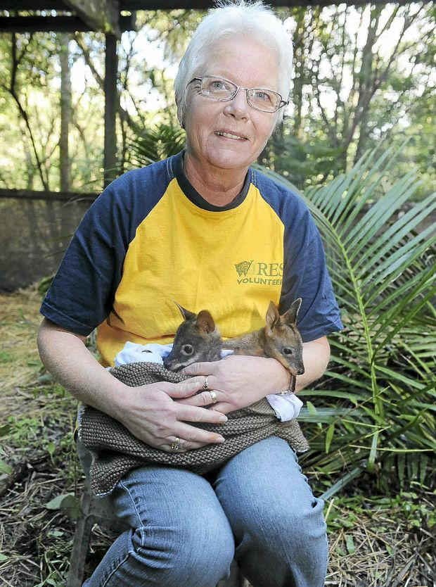 Sue Ulyatt WIRES macropod co-ordinator from Rosebank with two six-month-old swamp wallabies.