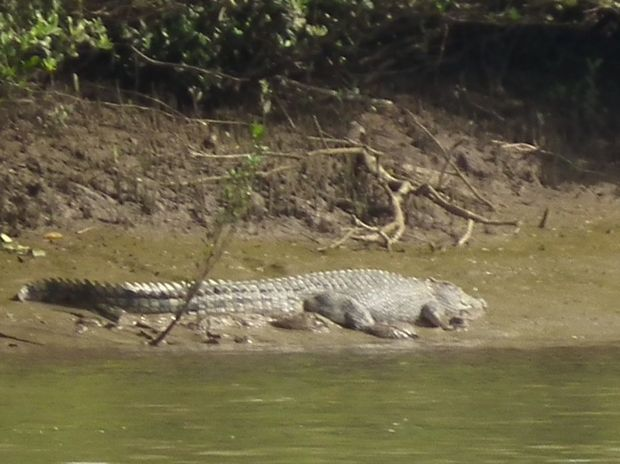 EHP rangers captured this image of the croc as part of their sighting confirmation on Tuesday afternoon.