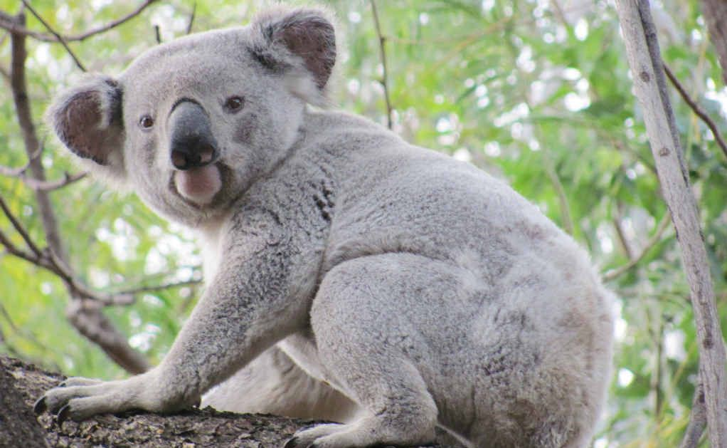 Tweed Shire Council has moved to protect koalas.