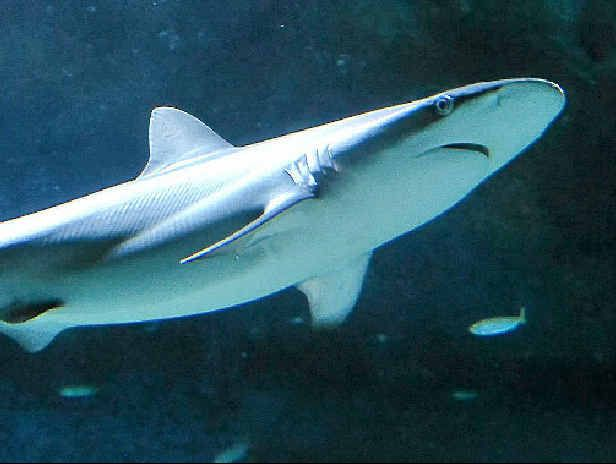 A young dusky whaler shark