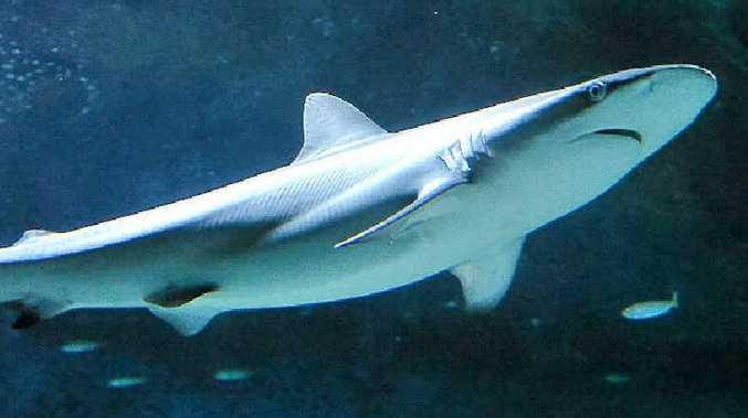 A young dusky whaler shark