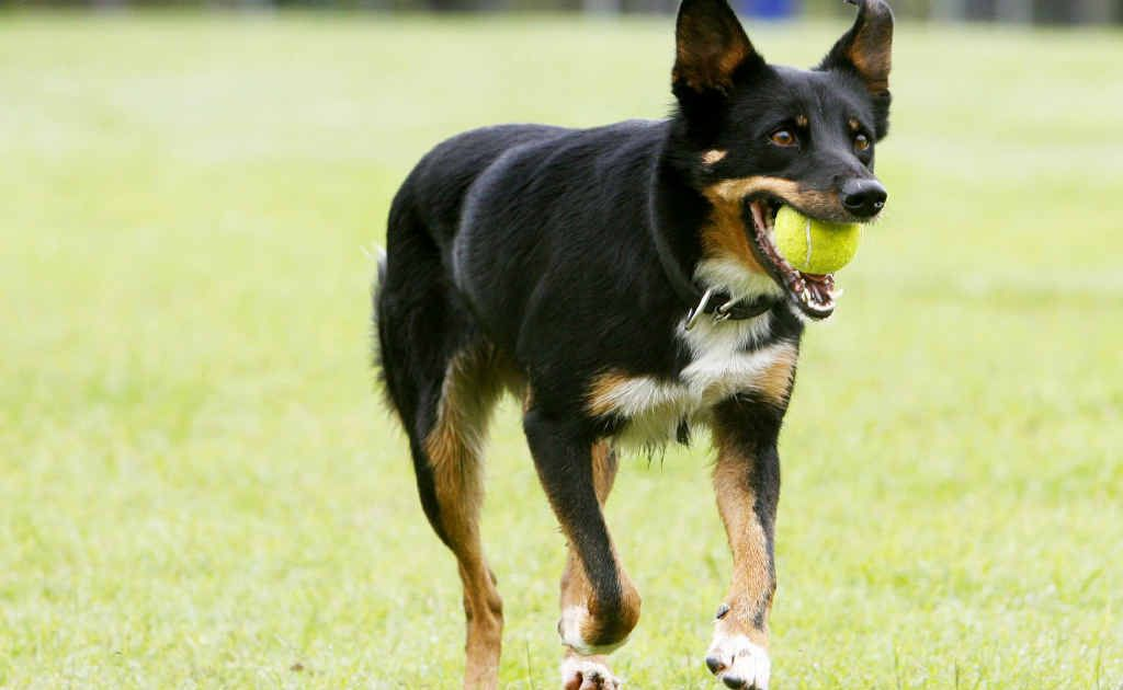 Stray dog blows minds   Queensland Times