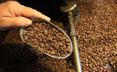 Checking the roast on coffee beans at Atiu Coffee.