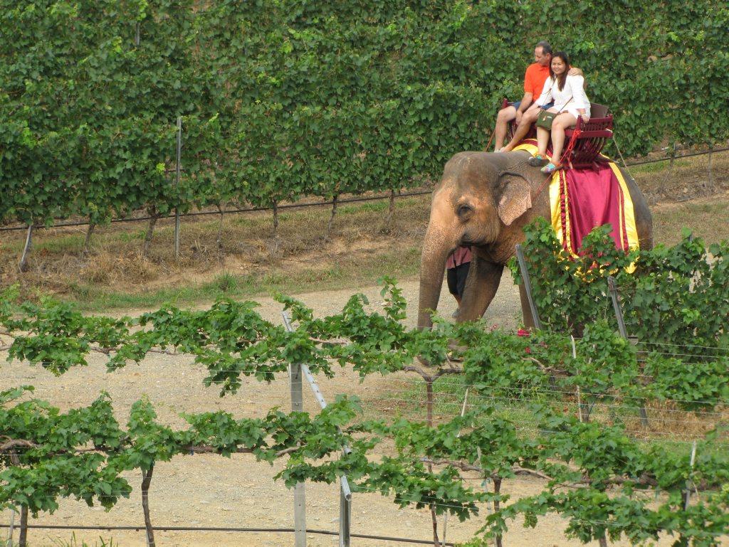 Elephant ride through the vineyard.