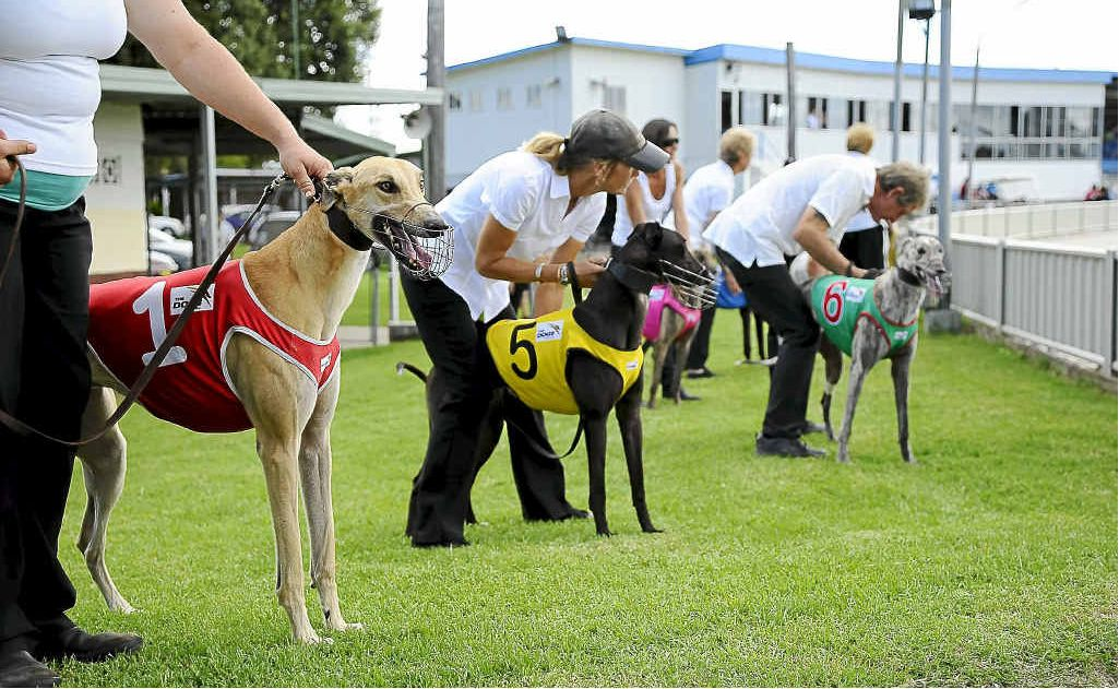 The dogs get excited as the teaser screams past before the start of a maiden at the Grafton Greyhound Track in March.