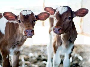 Sydney dairy awards rank Maleny as the big cheese