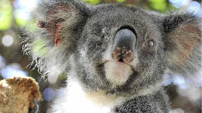 Hera the blind koala at Friends of the Koala. Council yesterday passed a plan to save members of her species in the wild.