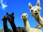 Alpacas killed with iron bar by duo in high school raid