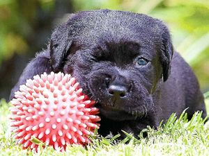 Care for a Seing Eye puppy