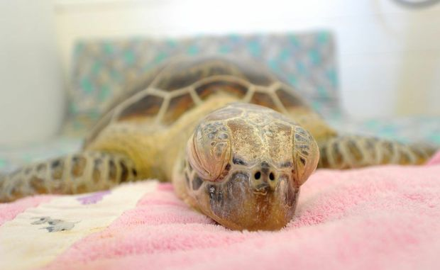 Quoin Island Turtle Rehabilitation Centre. A turtle under anesthetic.