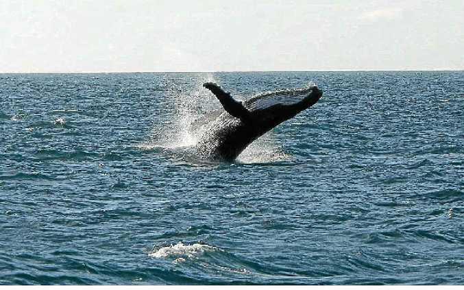 Humpack whales could be a regular sight on the Sunshine Coast.