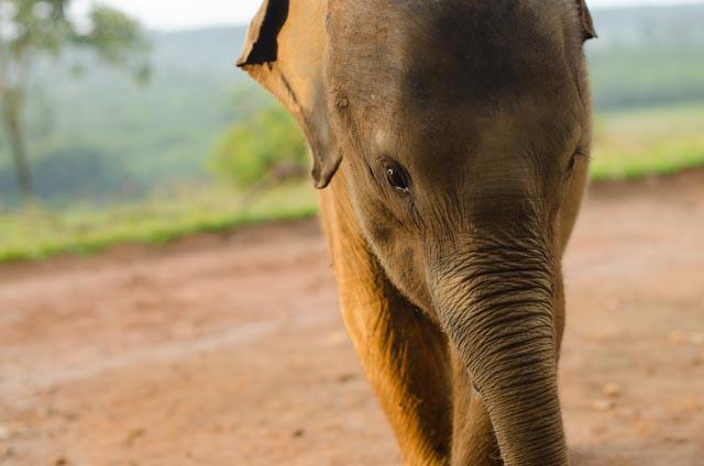 Bona, an orphaned two-year-old Sumatran Elephant.