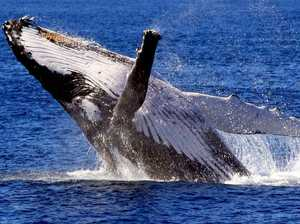 Whale researchers to run tours in Hervey Bay