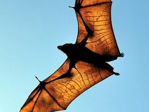 Flying foxes to be moved on under new rules