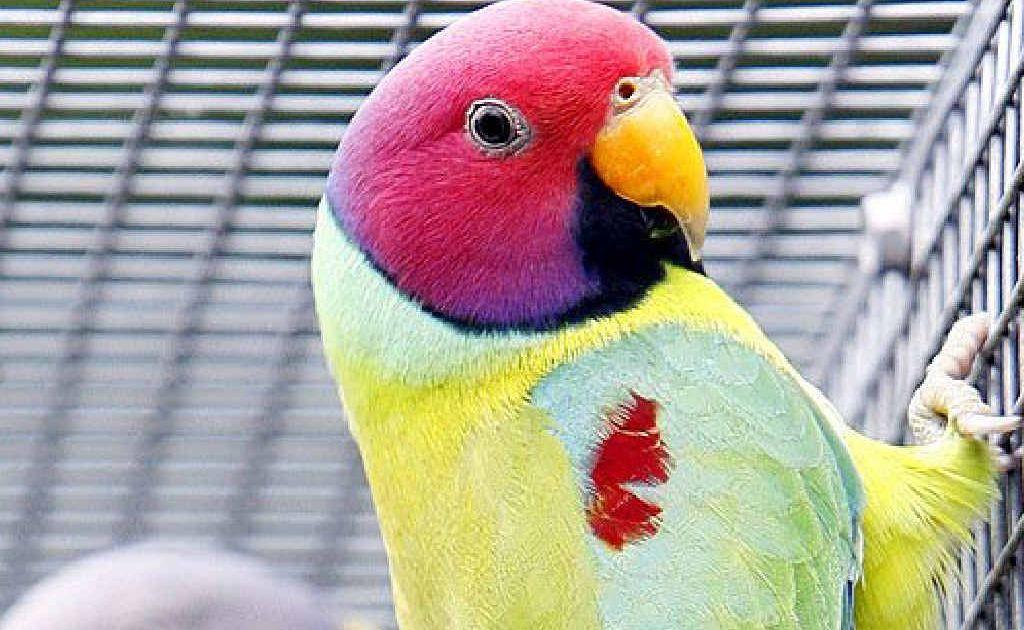 Plum head parrots.