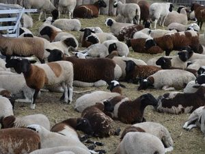 Department to investigate sheep cull