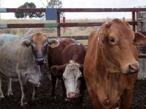Live cattle exports have increased under Abbott as PM