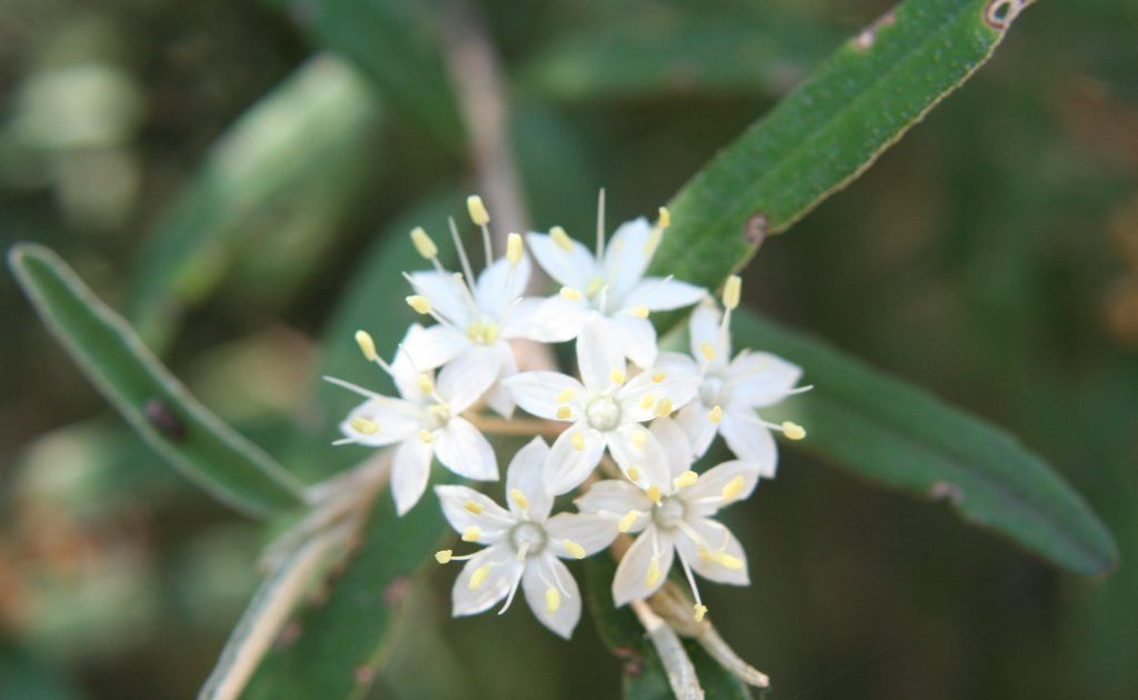 ENDANGERED: Residents of the South Burnett were worried Phebalium distans, a critically endangered plant, was going to be bulldozed. Photo: Contributed