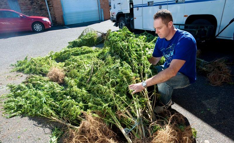 Investigating officer Coffs Harbour Detective Matt Zimmer with the marijuana crop discovered in Bellingen State Forest.