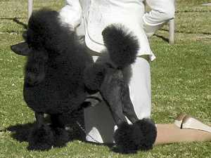 Poodle with attitude a grand champ