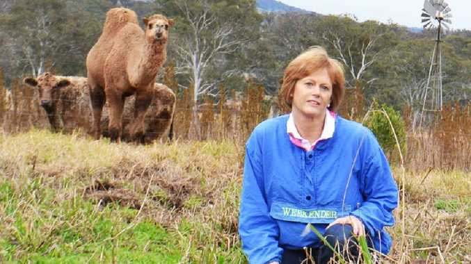 Highfields woman Patty Fulloon is putting her lantana-munching dromedary camels on the market.