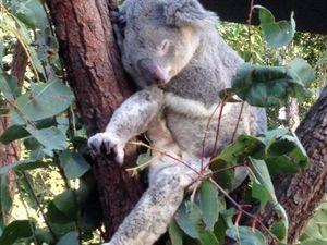 Koala care centre approved