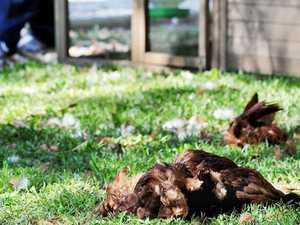 Backyard slaughter