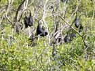 Culling 'only option' with bats