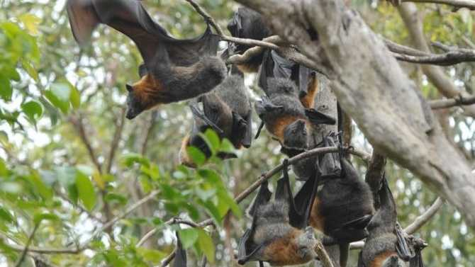 The discovery of a new virus in Australian bat colonies could be the key to unlocking the secrets of the deadly Hendra and Nipah viruses.