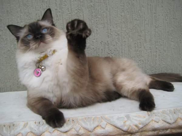 Chino, the Ragdoll Cat