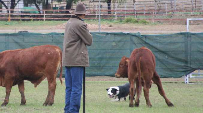 A competitor goes to work at the Australian Working Cattle Dog Championships in Springsure.