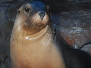 Marina sea lion just taking a rest