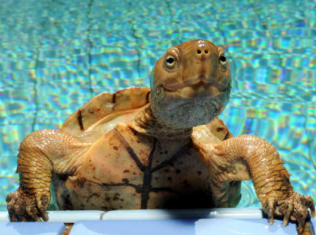 A turtle gets out of a swimming pool in Essaouira, Morocco.