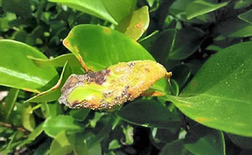 Myrtle rust on Eugenia reinwardtiana.