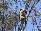 Couple spreads cover to save koalas