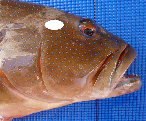 Twin benefits in humane fish handling rural weekly for Fish handler s disease
