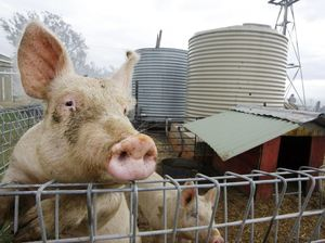 Fire destroys over $100,000 worth of livestock at piggery