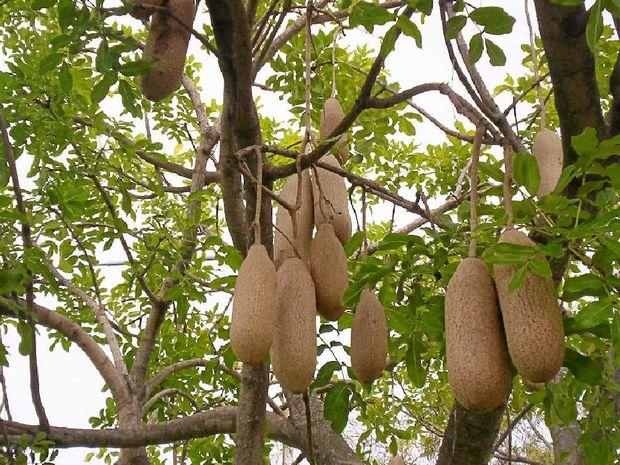The fruit of the Kigelia pinnata aka 'sausage tree'.