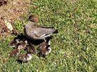 RSPCA help rescue ducklings