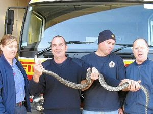 Firies remove python from toilet