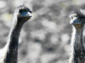 Birdlife group fears for emus