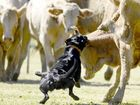 Jed, owned by Tim Child of Coutts Crossing competing in the dog trials at Ulmarra Showground on Sunday.