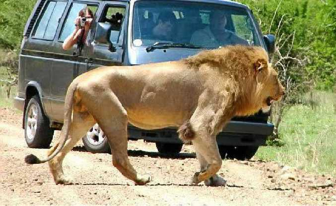 The king of beasts gets right of way.