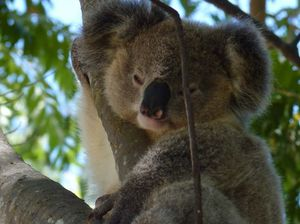 Call for action on koala plight