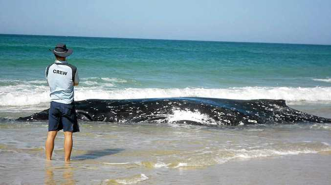Marine vet Dr Duan March stands vigil over a stranded humpback whale on Sandon Beach yesterday. Sadly the young whale had to be euthanised yesterday afternoon.