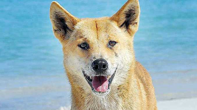 Managing people rather than dingoes was one of the issues raised at a dingo management forum held in Maryborough.
