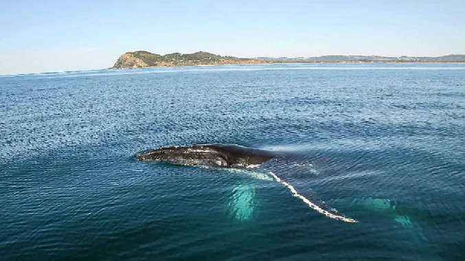 One of many humpback whales heading south back to their feeding grounds. As you can see they can be quite inquisitive.
