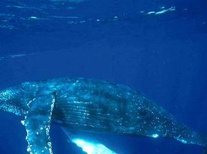 Whale of season in region