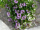 The fan flower makes an attractive ground cover.