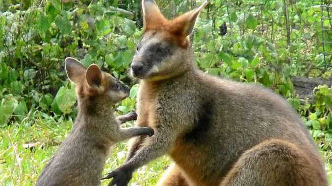 NELLIE AND BUB: Nellie, an orphaned swamp wallaby who was hand-raised, recently came back to her carer with her first joey.